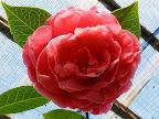 濃桃色 八重 牡丹咲き 大輪