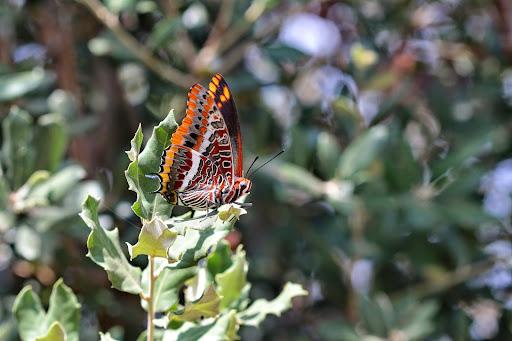 Jasiusvlinder nymphalidae aurelia 39 s dagvlinders - El tiempo en macanet de la selva ...