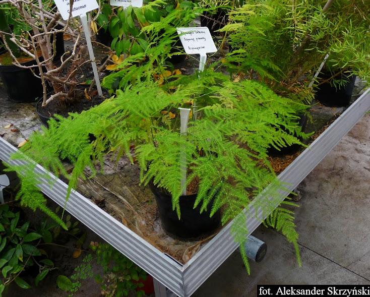 Szparag pierzasty - Asparagus plumosus