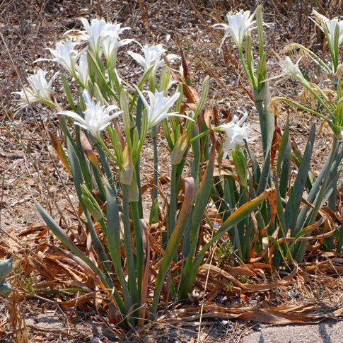 arenaria argille, pancrazi, Pachino