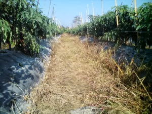 Campuran herbisida ampuh mematikan gulma 2