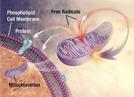 Envejecimiento mitocondrial