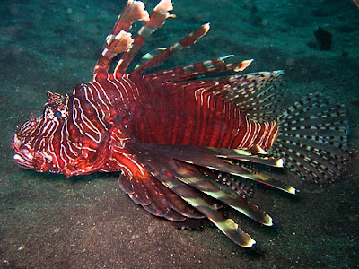 Catch of the Day: Lion fish