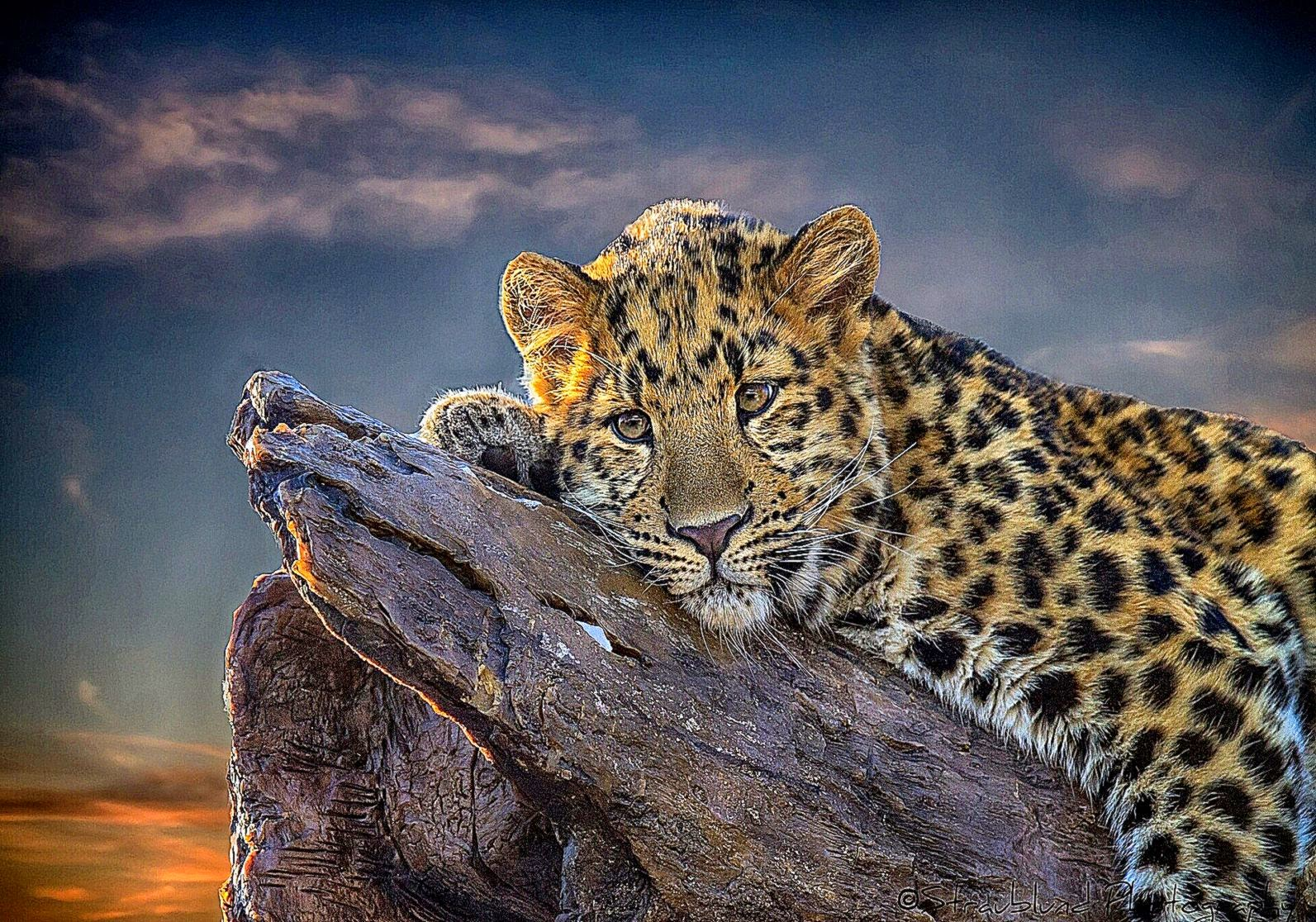 611 Leopard Wallpapers  Leopard Backgrounds