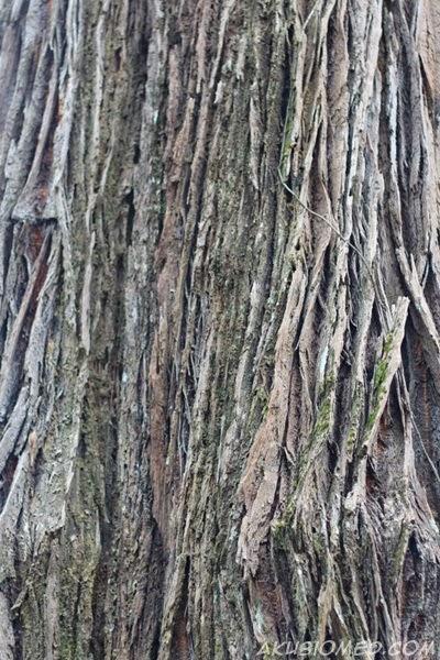 pokok jultong