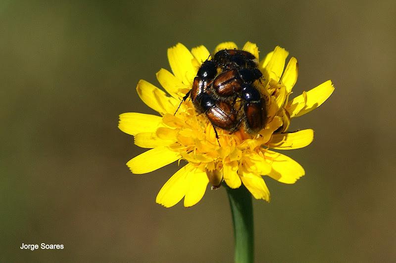 A festa dos escaravelhos