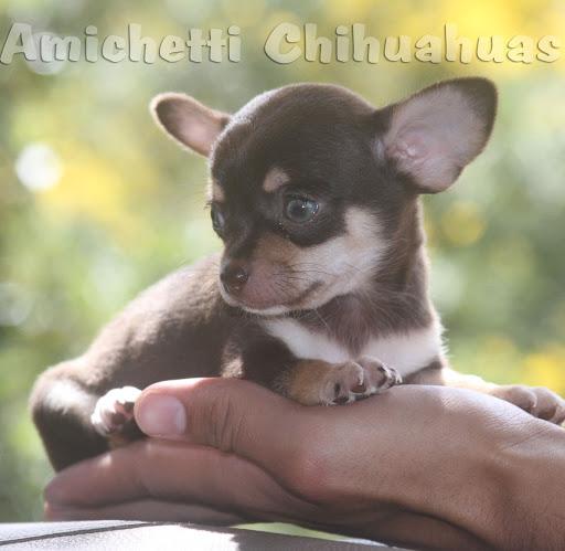 chihuahua puro do canil Amichetti