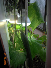 16 week tasty jade and socrates cukes - spider mites damage, used 3-in-1 fungicide-miticide-insecticide, but cuke leaves don't take that well
