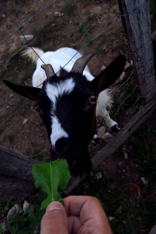 Ivan the goat