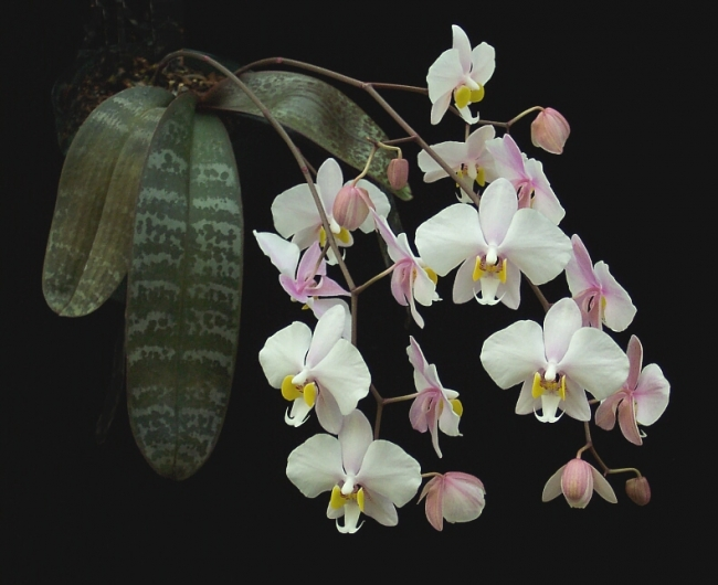 Растения из Тюмени. Краткий обзор - Страница 7 Phalaenopsis%252520philippinensis