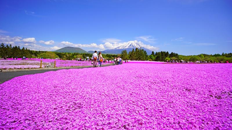 富士芝桜まつり 写真20