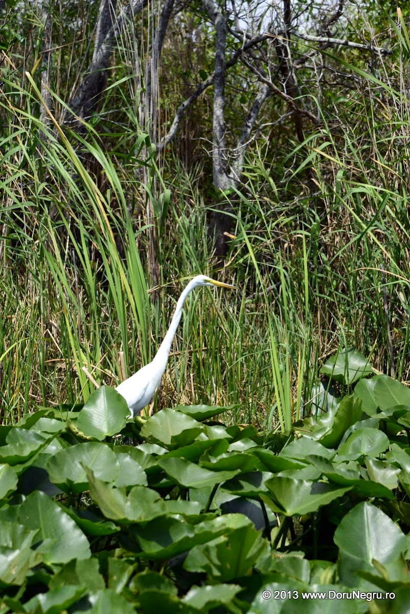 A great white heron in the Everglades, Florida