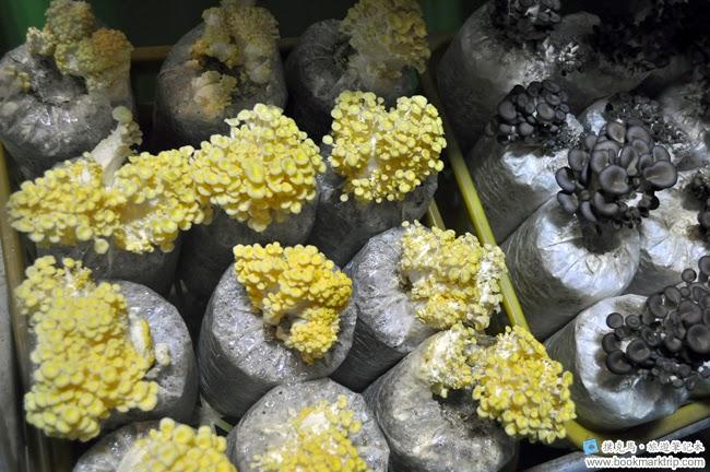 魔菇部落生態休閒農場黃金菇