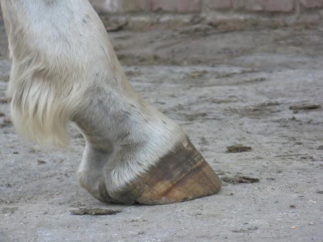 Besoin d'avis et conseils sur les pieds de mon cheval IMG_2157