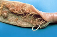 Intestinal tape worms in a dog's gut