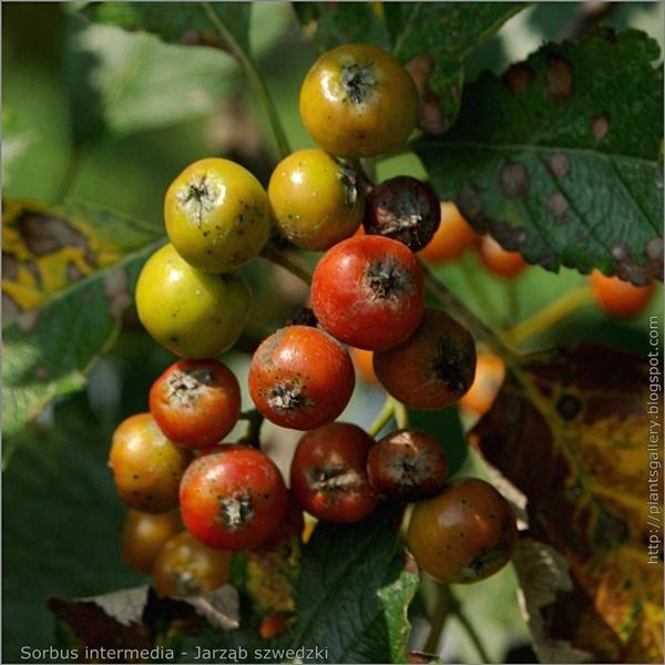 Sorbus intermedia fruits - Jarząb szwedzki owoce