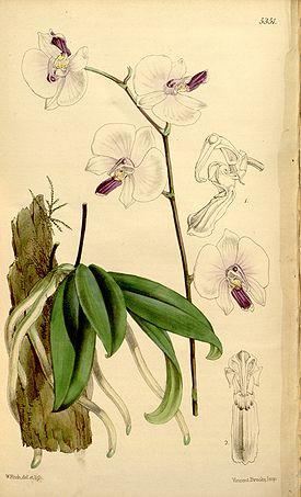 Растения из Тюмени. Краткий обзор - Страница 11 275px-Phalaenopsis_lowii