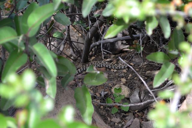little rattlesnake in the bushes