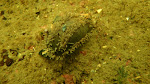 Sea cucumber (Neoamphicyclus mutans)