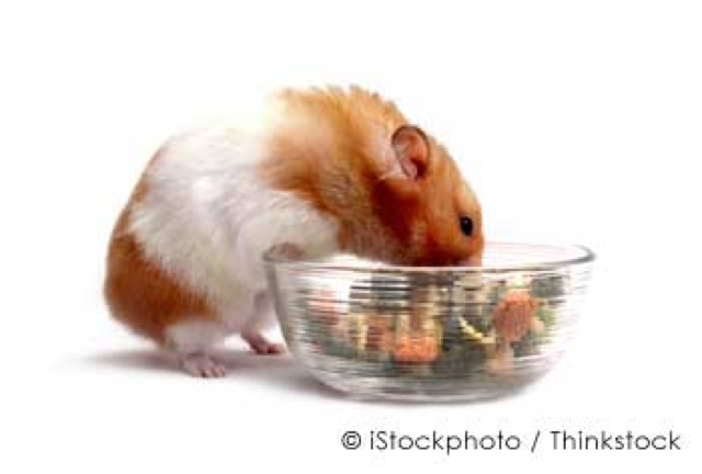 Can I Feed My Guinea Pig Hamster Food