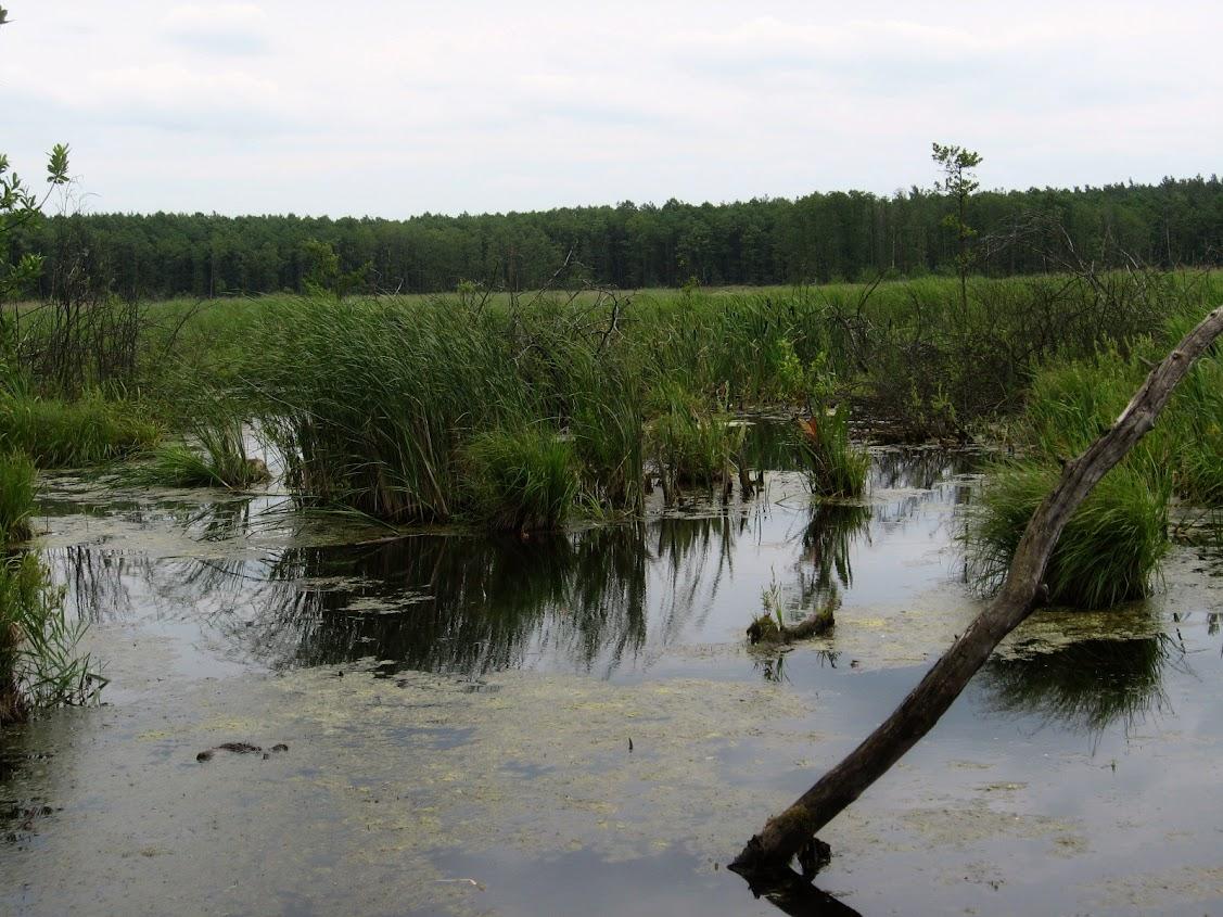 Silne Błota, Las Witowski