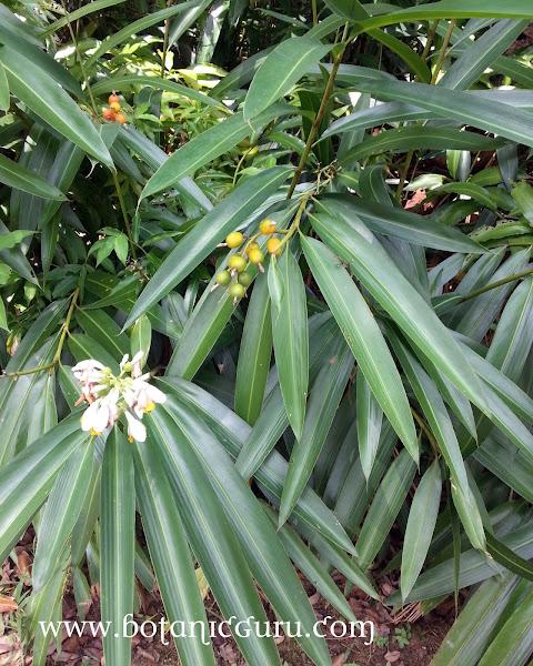 Alpinia mutica, Orhid Ginger