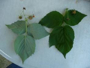 Malina właściwa Rubus idaeus