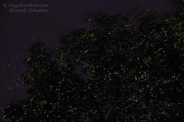 Thousands of fireflies / light bugs in Bhorgiri, Bhimashankar