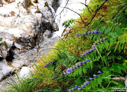 flori in Fagaras - lumânărica pământului