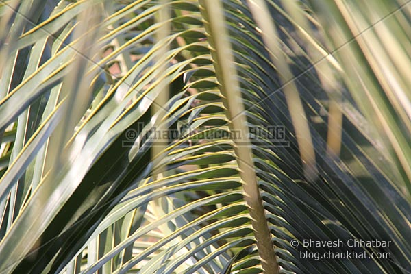 Sitting bird's eye view of coconut tree leaves