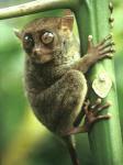 tarsier-1