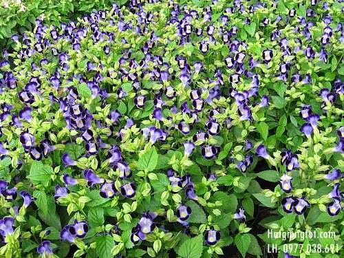 Hạt hoa tô liên