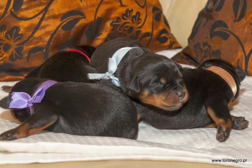 małe szczeniaki rottweiler