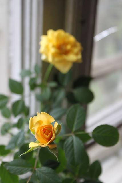 Розы в комнатной культуре - Страница 5 Img6052b
