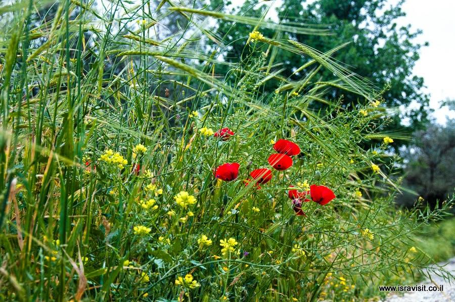 Цветы весной в Израиле. Эйн Карем.