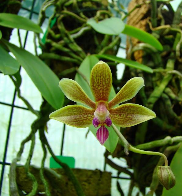Phalaenopsis Stromini DSC01969