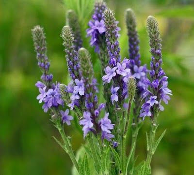 Vervain Water Image