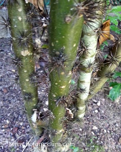Pereskia sacharosa trunk