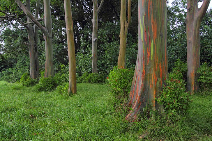 Rainbow Eucalyptus in Kauai Hawaii (11 Most Amazing Trees to Put On Your Bucket List).