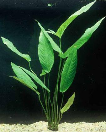 Анубиас гигантский (Anubias gigantea)