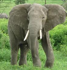 Gajah, Mamalia dengan Masa Kehamilan Terlama