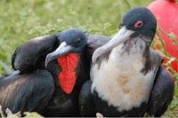 Galapagos Frigate Bird Pair