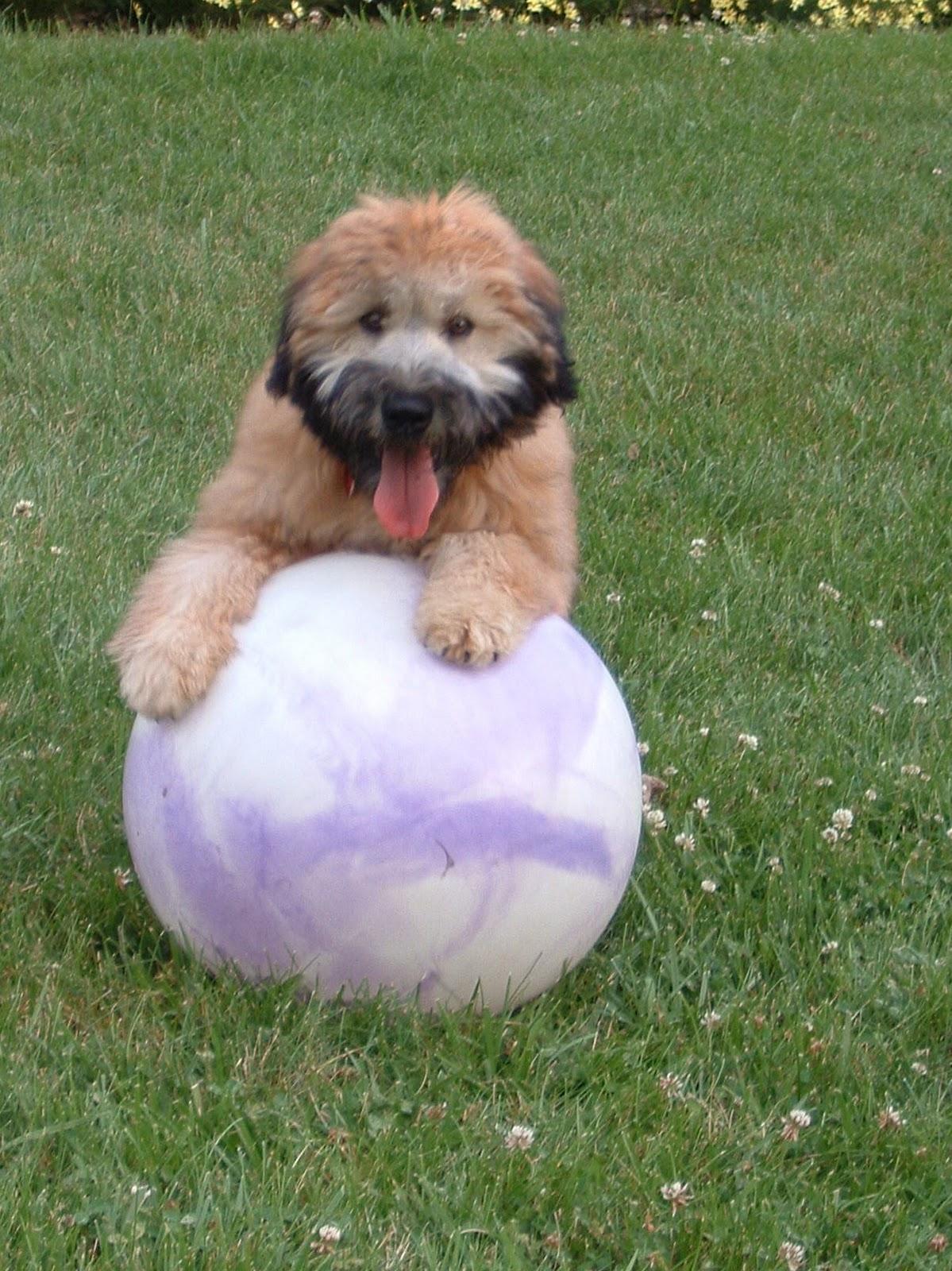 Wheaten Terrier Blog Seamus And His Pal Stella March 2011
