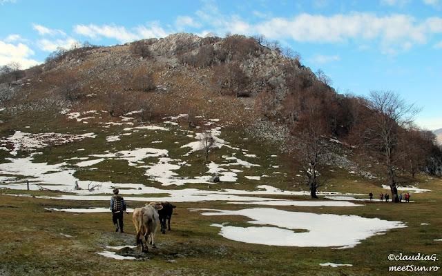 Localnic coborand muntele cu vitele la salase.
