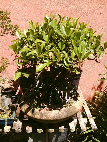 Ficus Microcarpa do Roberto Teixeira... - Página 2 IMAG0334