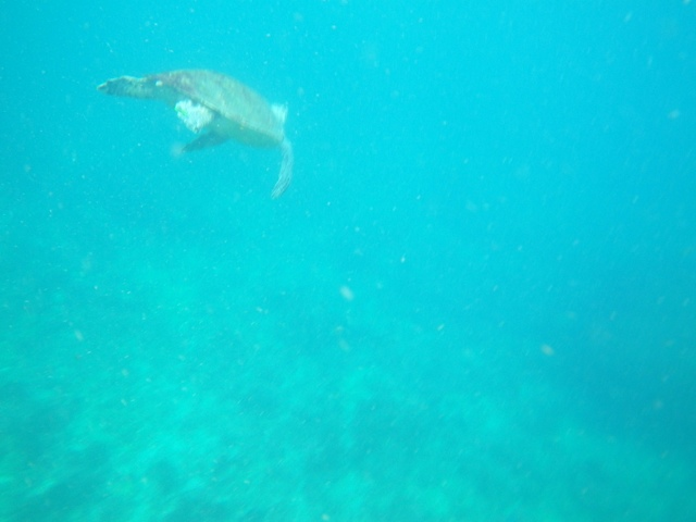 swimming with turtles in Julian Rocks - Byron Bay