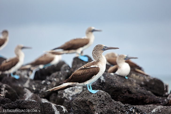 The Blue Footed Boobies in the Wetlands Isabela Galapagos Island.