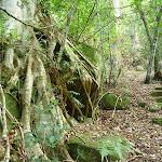 Strangler fig (Ficus obliqua) on mossy rocks in the Palm Grove NR (369784)