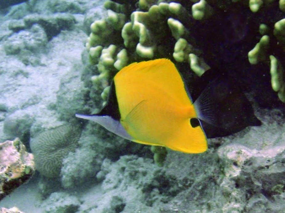 Forcipiger flavissimus (Longnose Butterflyfish), Rarotonga.