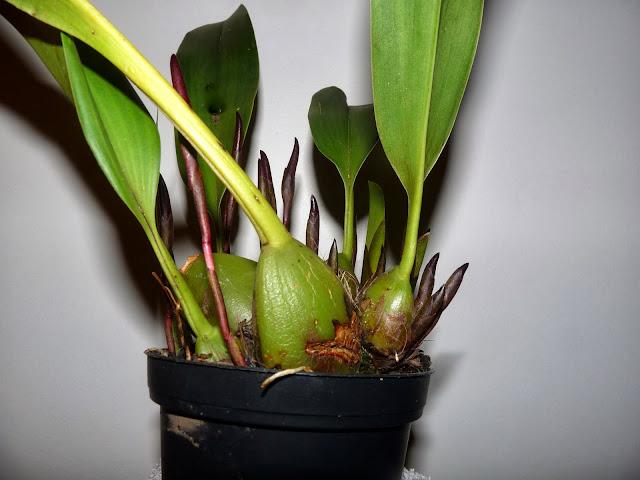 Maxillaria calantha P1360947